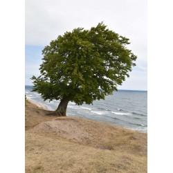 Tavla Trees and sea fotokonst. Vackert naturmotiv från Österlen - Spoca