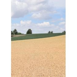 Yellow cornfield poster | Vackert naturmotiv - Spoca