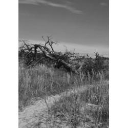 Svartvit Fallen tree poster | Tavlor i svart och vitt - Spoca