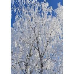 Vit frost posters | Björk mot blå himmel - Spoca