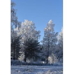 Vit frost posters | Björkar mot blå himmel - Spoca