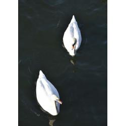 Fototavla av svanar. Köp tavlor online från Spoca