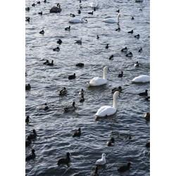 Poster av svanar i Stockholm. Prints, fotoposters, tavlor online