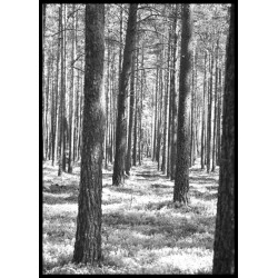 Trees in the woods Poster. Snyggt naturmotiv
