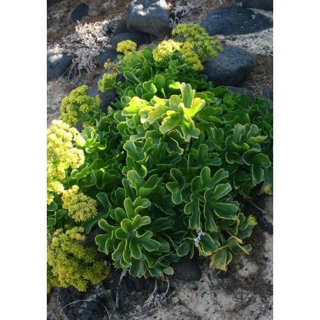 Botanisk tavla med växt. Poster med foto av blad och sten