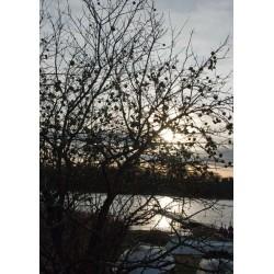 Äppelträdet Poster. Vacker tavla med naturmotiv, Stockholms skärgård
