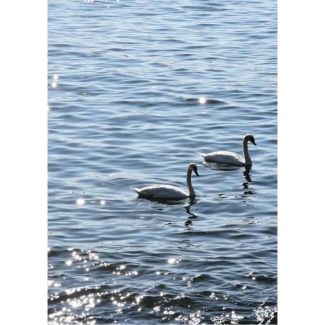 Swans in Sweden poster | Fototavla av skärgården - Sweden - Spoca