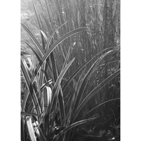 Poster där ljuset strilar mot gräs och strån. Fototavla i svartvitt.